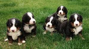 Beautiful Bernese Mountain Puppies for sale FOR SALE ADOPTION