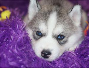 Blue Eyes Siberian Husky puppies FOR SALE ADOPTION