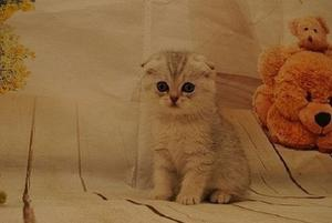 Cute Awesome Male and female Scottish Fold FOR SALE ADOPTION