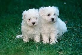 Fun Loving Maltese Puppies Sale FOR SALE ADOPTION