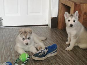 Siberian Husky Puppies FOR SALE ADOPTION