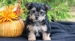 Adorable Morkie puppies For Adoption FOR SALE ADOPTION