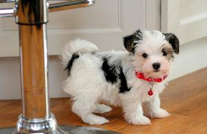 Gorgeous Morkie puppies for adoption FOR SALE ADOPTION
