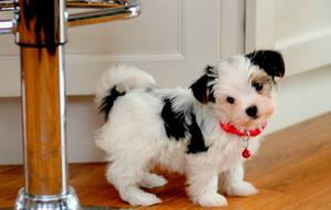 Male And Female Morkie puppies text 507 x 201 x  FOR SALE ADOPTION