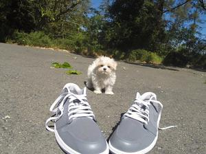Reg Maltese puppies Beautiful litter c k c registered FOR SALE ADOPTION
