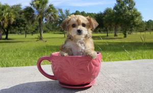 We have lovely Party Morkie puppies FOR SALE ADOPTION