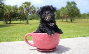 outstanding Morkie puppies available FOR SALE ADOPTION
