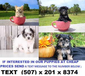 two Morkie puppies remaining for adoption Male and Female FOR SALE ADOPTION