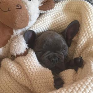 12 weeks old French Bulldog Looking new home FOR SALE ADOPTION