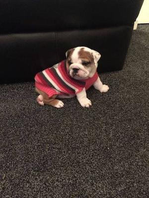 Adorable Chunky English Bulldog babies for Adoption FOR SALE ADOPTION