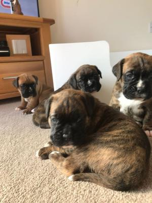 Kc Reg Boxer Puppies FOR SALE ADOPTION