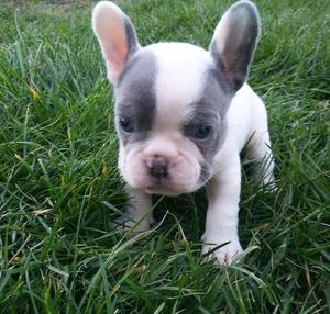 Mini French Bulldog Puppies FOR SALE ADOPTION