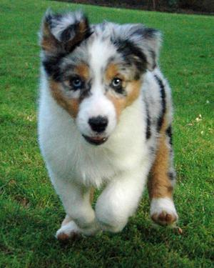 Stunning Australian Shepherd Puppies FOR SALE ADOPTION