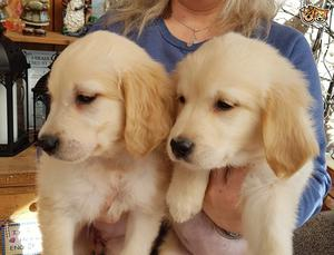 Golden Retriever Puppies FOR SALE ADOPTION