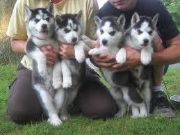 100% pure bred siberian huskies For Sale