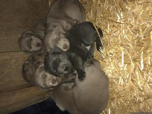 AKC silver and charcoal labs