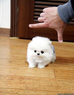 !Adorable mini Pomeranian puppies