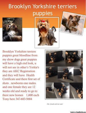 Brooklyn Yorkshire terrier puppies