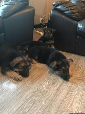 Cute and Gorgeous German shepard puppy for sale for sale