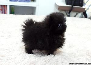 !Cute and Healthy Teacup Pomeranian puppies!