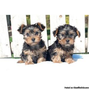 Doll face Teacup Yorkie puppies