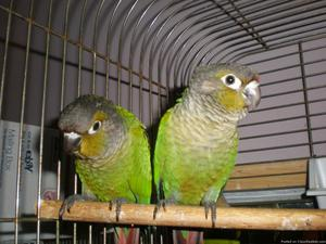 Home Raised Green Cheek Conures, Guilderland NY
