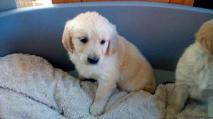 Outstanding Golden Retriever Puppies Males And Females