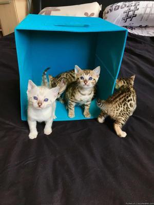 Registered Bengal Cat for Adoption