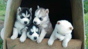 Registered Siberian Husky puppies, male and female