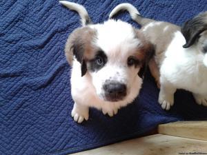 St. Bernard Puppies 10 weeks old