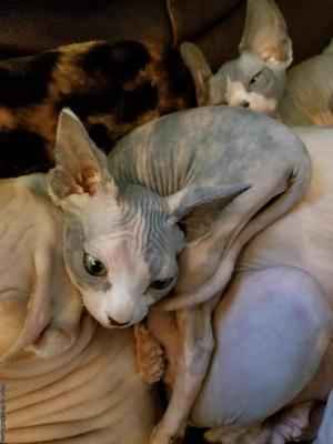 Tortoise Female Sphynx Kitten *Ready to go*