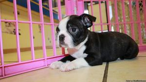 We have pure Boston Terrier puppies available