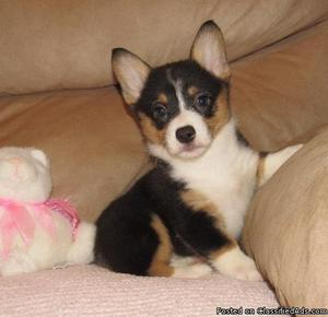 We have pure Corgi puppies available