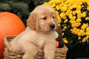 We have pure Golden Retriever puppies available