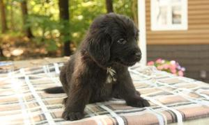 We have pure Newfoundland puppies available