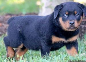 We have pure Rottweiler puppies available