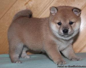 We have pure Shiba Inu puppies available