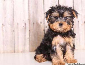 We have pure Yorkshire Terrier puppies available