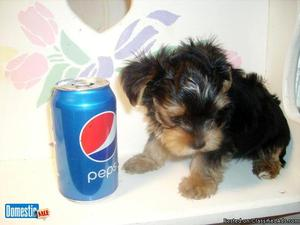 wow beautiful yorkshire terrier puppies!!