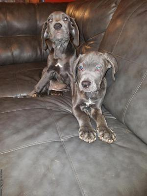 Blue/Brindle Cane Corso Puppies