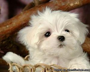 Cute Male And Female Maltese Puppies For Sale