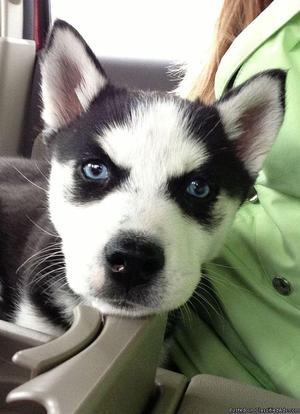 Healthy Blue Eyes Siberian Husky puppies For Xmaas!!!