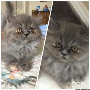 Persian, Blue Cream female