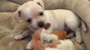 Rat terrier pit bull lab chihuahua puppys