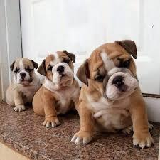 akc english bulldog puppies for sale..
