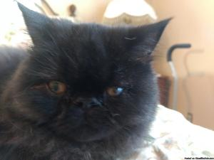 CFA Black male Persian 4 months old.