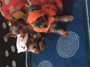 Three boy Toy Yorkie for sale grate Christmas gift
