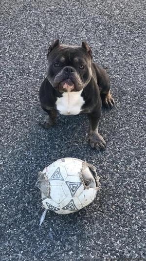 1 year old American Bully