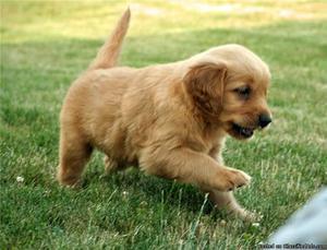 12 Week Old Female Golden Retriever Puppies