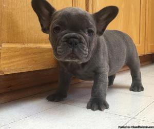 French Bulldog Available and ready to go now